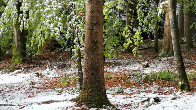 Wintereinburch im Mai bei den Waldameisen. CC BY SA 4.0 Isabelle Trees Frauenkappelen Switzerland