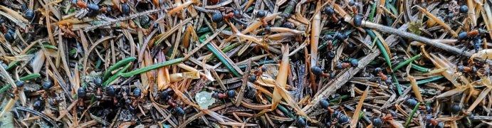 Nestmaterial. Waldameisen Inventar Kanton Bern. CC BY SA 4.0 Isabelle Trees Frauenkappelen Switzerland