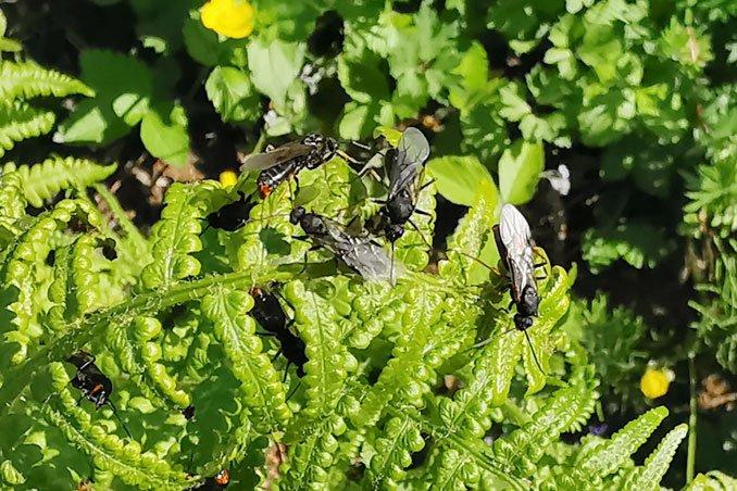 Maennchen der Waldameise Formica pratensis. CC BY 4.0 Isabelle Trees Frauenkappelen Switzerland