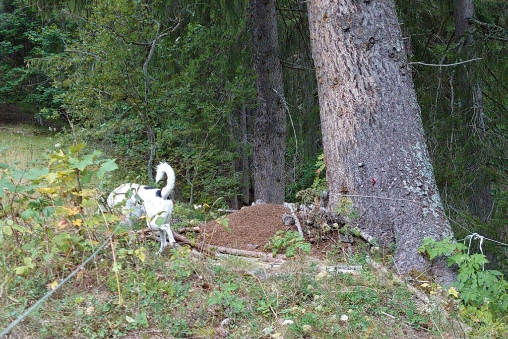 Hund hilft bei der Suche nach Waldameisenhaufen CC BY SA 4.0 Gasparde Grundisch Switzerland