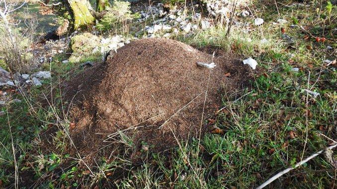 3000 Meldungen geknackt. Waldameisnnest im Berner Jura. CC BY SA 4.0 Rudolf Bryner Switzerland