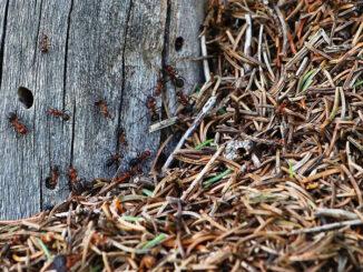 Strunkameise, die Unbemerkte unter den Roten Waldameisen. CC BY SA 4.0 Isabelle Trees Switzerland